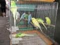 الكناريا والببغاء Caring-for-birds--ca