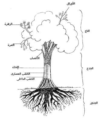 التاج twig ، وهو الجزء فى الشجرة