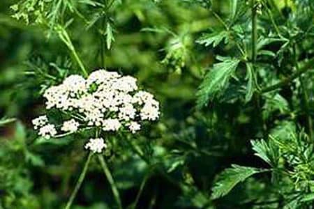 Anise22 الفوائد الرائعة لليانسون   The wonderful benefits of anise