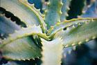 ������� �������� ���� ����� Herbs-Aloe-vera.jpg