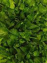 الأعشاب وفوائدها الصحيه Herbs-Peppermint.jpg